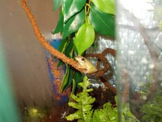 USA tree frog Smudge