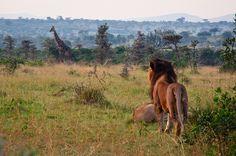 Lion Obsverving Giraffe in Maasai Mara Giraffe, Camel, Safari, Lion, Horses, Animals, Leo, Felt Giraffe, Animales