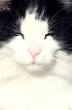 I've only had black and white cats throughout my life so black & white, 1 all white)It's not on purpose. Beautiful Cats, Animals Beautiful, Cute Animals, Cute Cats And Kittens, I Love Cats, Ragdoll Kittens, Funny Kittens, Adorable Kittens, Crazy Cat Lady