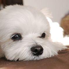 .雨☔だとだるいわー..#インターペット2017うちイチ #maltese #malteseofinstagram #east_dog_japan #pecoいぬ部 #toyota_dog #todayswanko #ig_dogphoto #inutokyo #inulog #dogsofinstagram #bestfriends_dogs #いぬ #わんこ #マルチーズ #マルチーズ大好き #ペットネット #マルチーズのひろし .ひろし 男の子 6歳