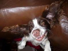 Image result for black and white springer spaniel funny