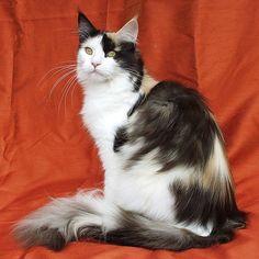 http://en.wikipedia.org/wiki/List_of_cat_breeds