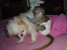 Home Trained Capuchin Monkey For Adoption - Hastsal, Delhi