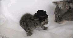 37 pestes de chats [GIF]   37 pestes de chats aime pas les chapeau