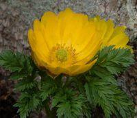 Herbaceous Woodlanders - Adonis amurensis Fukujukai