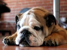 This English Bulldog puppy is not happy.