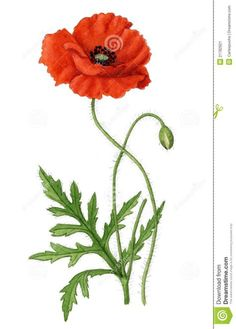 Illustration about Watercolour illustration of a Corn Poppy plant with an open flower, one closed flower and leaves. Illustration of floral, corn, drawing - 21782921 Botanical Drawings, Botanical Art, Botanical Illustration, Watercolor Illustration, Poppy Drawing, Leaf Drawing, Corn Drawing, Drawing Pin, Flower Prints