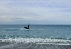 Ballenas en Puerto Madryn, Chubut.  Es así de simple: te parás en las playas de El Doradillo, cerquita del centro de Puerto Madryn, apuntás con la cámara y ellas posan.   ¿No te dan ganas de ir a verlas? Hasta diciembre andan por la zona. Si no, tomá nota: en junio vuelven.