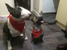 These two look rather pleased with their new Manor Bandanas! smile emoticon Please feel free to send us pictures of your pets sporting their bandanas.