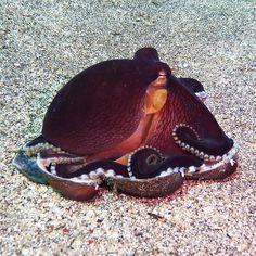 Coconut Octopus. (marco26886)
