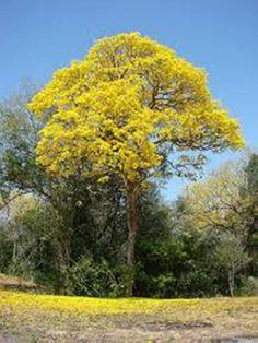 Araguaney  Arbol Nacional de Venezuela