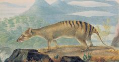 An early painting of a Tasmanian tiger by Australian artist John Lewin. (Credit: Courtesy of the Linnean Society)