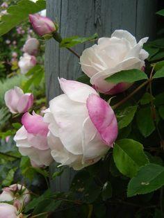 """Rosa 'Splendens' a pour synonyme 'Rosa Ayrshire Splendens' ou encore """"Myrrh Scented Rose"""". Les fleurs de 6 cm de diamètre, semi-doubles, réunies en petits bouquets au fort parfum de myrrhe, se parent de blanc crémeux avec un liseré carminé. La floraison n'est pas remontante. C' est un grimpant sarmenteux vigoureux (5 m) au feuillage vert brillant , malheureusement sensible au mildiou. Hybride de rosa arvensis. Rivers, 1835.:"""