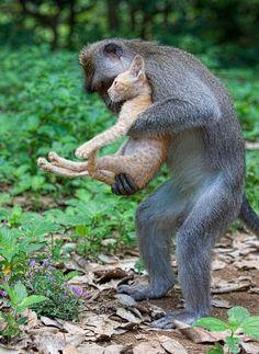Monkey adopts kitten in Wild. Are you KIDDING me!!