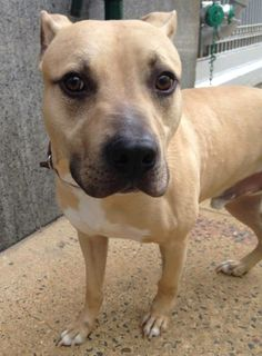 TO BE DESTROYED 5/21/14 Manhattan Center   My name is BANKS. My Animal ID # is A1000183. I am a male tan and white pit bull mix. The shelter thinks I am about 1 YEAR   I came in the shelter as a OWNER SUR on 05/17/2014 from NY 10462, owner surrender reason stated was MIL DEPLOY. https://www.facebook.com/photo.php?fbid=806080082738206&set=a.611290788883804.1073741851.152876678058553&type=3&theater