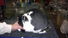 Super Nice Broken Doe from Mumbles Mini's Mini Lop Rabbit, America, Club, Nice, Dwarf Rabbit, Nice France, Usa