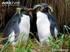 Northern Rockhopper Penguin (Eudyptes moseleyi) - breeds on a number of Southern Ocean islands, with the largest populations found on the islands of Tristan da Cunha and Gough. Nesting occurs on cliffs and rocky gullies. (16 photos)