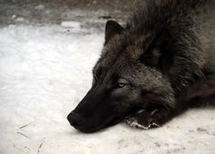black wolves, By being self-sufficient, you gain creativity and set off money systems, I live without money since 22 years, therefore, my  contribution 2  pollution is 0, I protect life eating only vegan organics instead of death tortured animals, go green 4 all you do and live, support the system and die 4ever,  https://stargate2freedom.wordpress.com/2016/05/03/cruelty-to-animals-is-a-fact/, https://stargate2freedom.wordpress.com/2016/05/03/cruelty-to-animals-is-a-fact/,