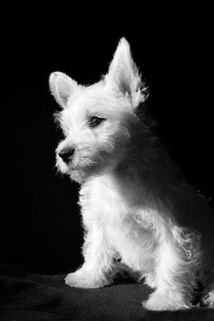 """Click visit site and Check out Best """"Westie"""" Shirts. This website is top-notch. Tip: You can search """"your name"""" or """"your favorite shirts"""" at search bar on the top. Westies, Westie Puppies, Cute Puppies, Dogs And Puppies, Doggies, Chihuahua Dogs, Beautiful Dogs, Animals Beautiful, Cute Animals"""