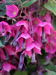 purple bell vine | Full size picture of Purple Bell Vine ( Rhodochiton atrosanguineum )
