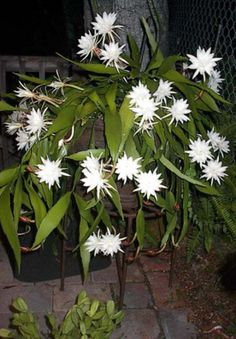 Night blooming Cereus - Orchids Forum - GardenWeb
