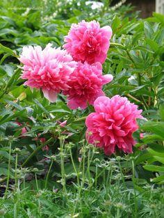 Paeonia officinalis 'Rubra Plena' = boerenpioen. Bloeit mei – juni, is 50 -60 cm hoog, bekend van de boerentuinen, kan als snijbloem gebruikt worden. Houd van voedzame grond en een open standplaats. Niet verplaatsen en regelmatig bemesten.