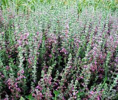 Teucrium Chamaedrys http://www.mysticallandscapes.com/ and http://www.maringardener.org/