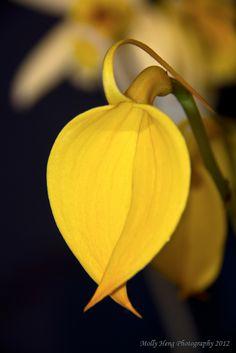 Masdevallia coccinea Yellow form