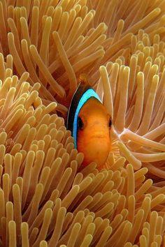✭ Home Sweet Home - Clown Fish