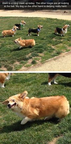 """""""Went to a corgi meet up today. The other corgis are all looking at the ball.  My dog on the other hand is derping really hard."""" #funny"""