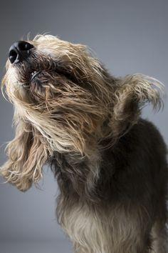 Dekanchar's Noble Legend, an Otterhound.Photo by Landon Nordeman.