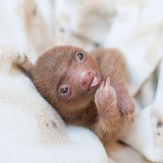 The Sloth Institute in Costa Rica was co-founded by Sam Trull after she recued a sloth named Kermie. The baby sloth had lost its mother and home due to . Cute Baby Sloths, Cute Sloth, Cute Baby Animals, Animals And Pets, Funny Animals, So Cute Baby, Costa Rica, Adopt A Sloth, Animal Espiritual