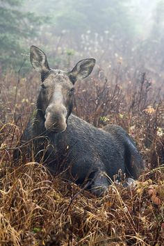 Moose Cow Sitting And Resting, Mount Photograph by Philippe Henry - Moose Cow Sitting And Resting, Mount Fine Art Prints and Posters for Sale