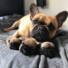 Happy Monday from Nicco and the boys.  A few days ago Nicco gave birth to three beautiful boys!   Boys meet world, world meet the boys! #frenchiepuppies #frenchiepuppy #frenchies #frenchbulldog #frenchbulldog #boys #brothers