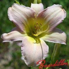 Hemerocallis Cathérine Woodberry