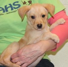Meet Cupid 23701, an adoptable Labrador Retriever looking for a forever home. If you're looking for a new pet to adopt or want information on how to get involved with adoptable pets, Petfinder.com is a great resource.