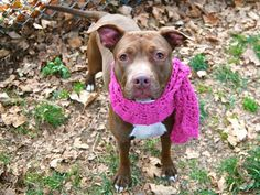 SAFE --- Manhattan Center  DAISY - A1019691  FEMALE, BROWN / WHITE, PIT BULL MIX, 1 yr STRAY - STRAY WAIT, NO HOLD Reason STRAY  Intake condition EXAM REQ Intake Date 11/04/2014, From NY 10457, DueOut Date 11/07/2014, https://www.facebook.com/photo.php?fbid=902807586398788