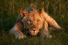 "bigcatkingdom: ""(via Lion Sunset Staredown by Rudi Hulshof / 500px) """