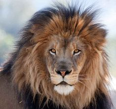 Three lions saved an abducted Ethiopian girl. | The 24 Most Heroic Animals In History