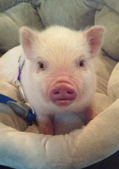 I discussed the pros of owning a mini pig, so now let's discuss mini pig cons. We love and adore Oscar, but not every day with a pet mini pig is easy.