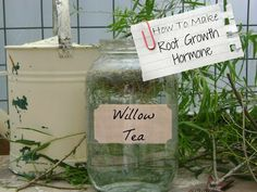 TSG: Willow Tea: Natures Help For Permaculture Gardeners