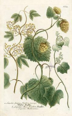 Lupulus faemina, Houblon sauvage (1033×1650)