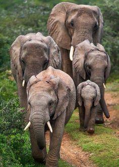 "Elephants .       (""  코끼리."")"