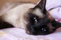 So very, very beautiful. Pure serenity. Wonder what the Siamese is thinking.