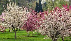 Crabapples, Secrest Arboretum, Wooster, Ohio