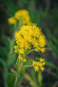 https://flic.kr/p/KJyTGE | 20160806-Goldenrod? | #dakota #wildflower #BlackHills #SouthDakota