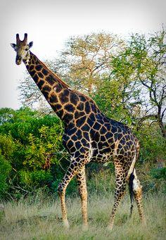 Giraffe at Lion Sands River Lodge Krueger National park South Africa safari travel