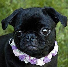 Cute Black Pug Puppy