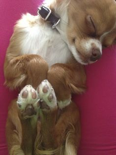 Perfect Cute #chihuahua #dog #nap