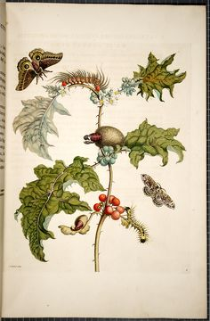 Maria Sibylla Merian    from book 	 Metamorphosis insectorum surinamensium (Transformations of the insects of Surinam)